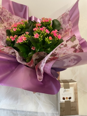 Long flowering Kalanchoe plant gift wrapped and Butlers Chocolates