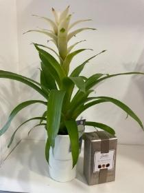 Tropical bromeliad house plant and Butlers chocolates 160g